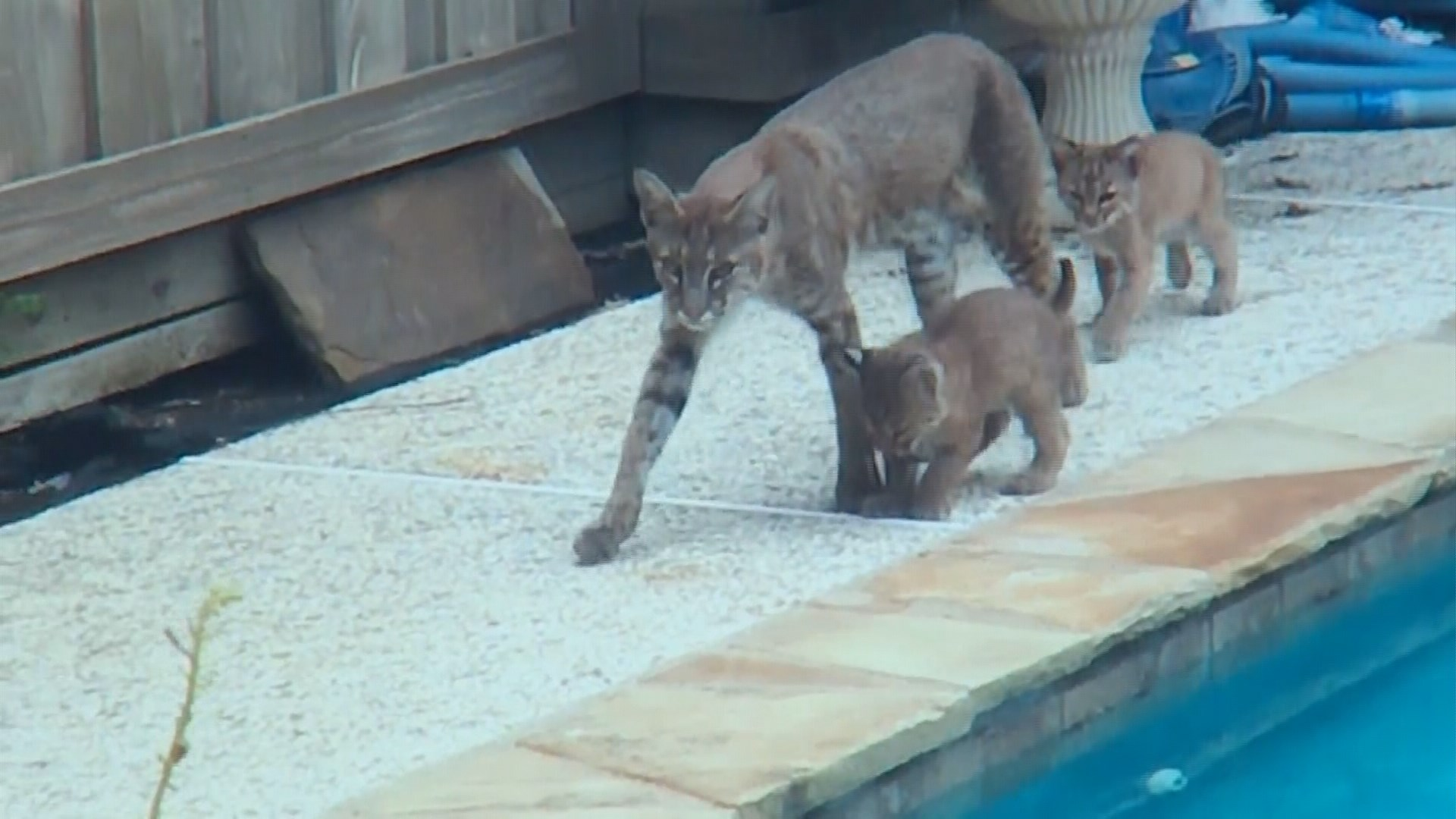 plano family grows concerned as baby bobcats in backyard get