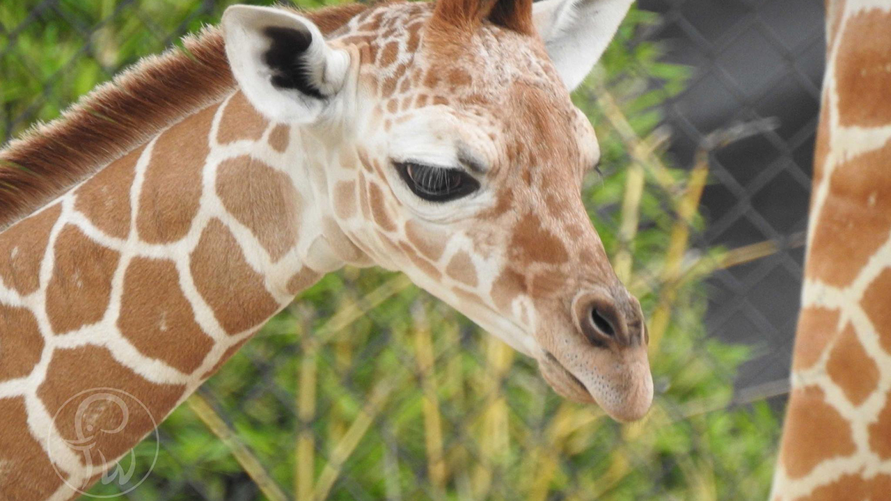 fort worth zoo debuts baby giraffe with lowkey surprise approach